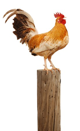 Rooster perched upon a wooden post crowing up at the sky over white Standard-Bild