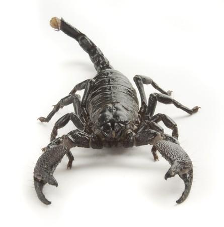 Vista frontal de un escorpión negro sobre un fondo blanco  Foto de archivo - 7049132