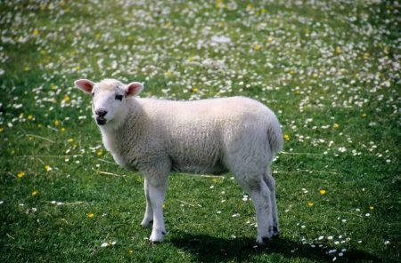 lamb of god: white lamb in a field Stock Photo