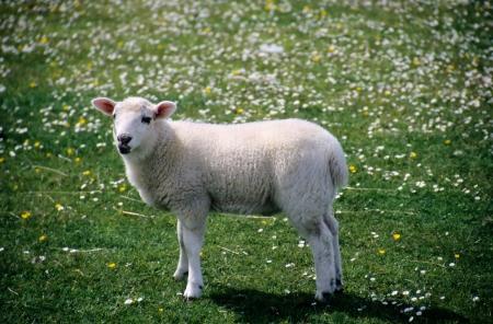 white lamb in a field Zdjęcie Seryjne