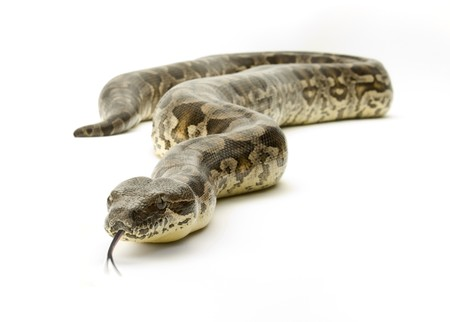 forked: Boa constrictor snake on a white background