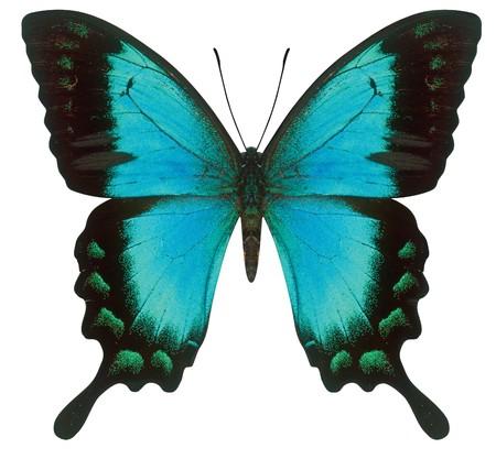 metamorfosis: Papilionidae azul aislado en blanco con trazado de recorte