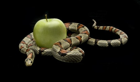 Snake slithering around an apple on a black background Archivio Fotografico