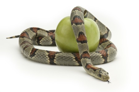 slithering: Snake coiling around an apple on a white background