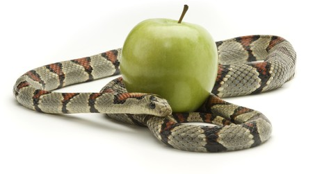 Gray banded kingsnake coiled around and apple on a white background Imagens