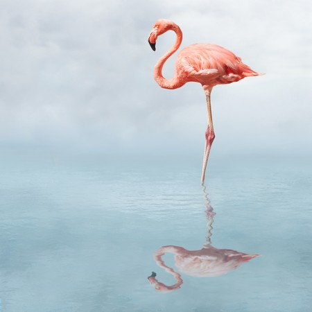 flamingos: Flamingo in water casting reflection