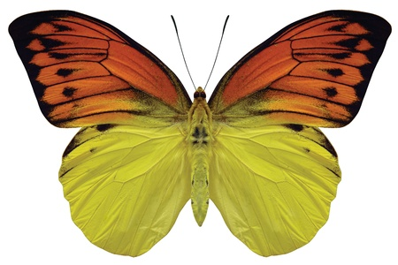 specimen: Close up of an orange and yellow butterly with black accents on a white background.