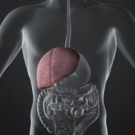sistema digestivo: Una ilustraci�n de la anatom�a de un hombre s que muestra el h�gado en un estilo de rayos X