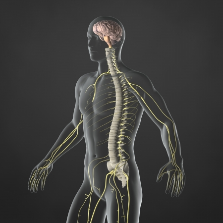 An Illustration of a man s anatomy showing the sympathetic nervous system in an x-ray style