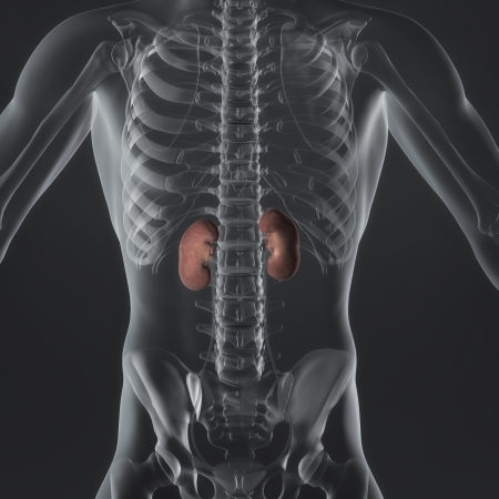 An illustration of a man s anatomy showing the adrenal glands in an x-ray style