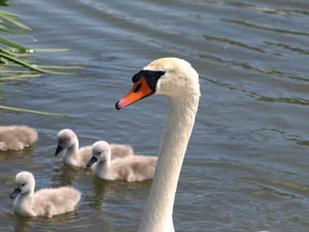 Swan with young swans