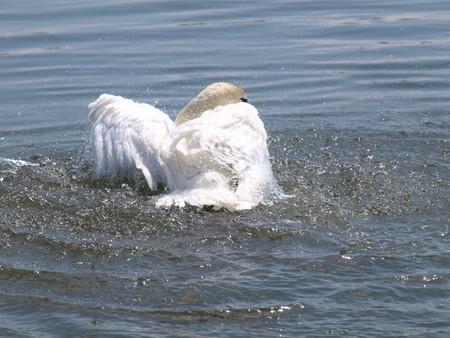 Swan on lake Stock Photo - 7506232