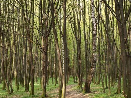 A lot of decidous trees in forest