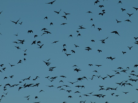 Crows in the sky photo