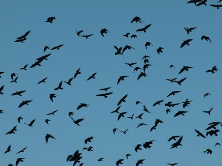 Crows in the sky