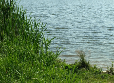 Sweet flags in lake