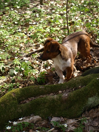 Dog in forest springtime photo