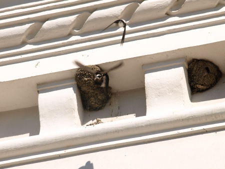 Swallows in nest photo