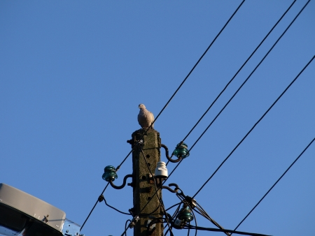 Pigeon on electricity pole photo