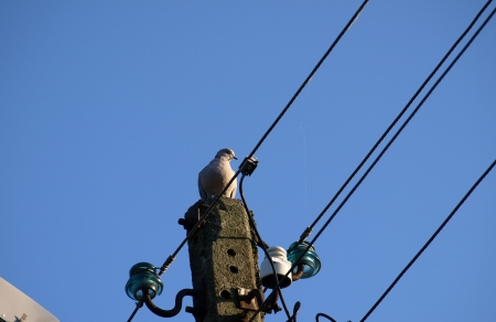 Pigeon on electricity pole