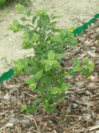 Blueberry plant in garden