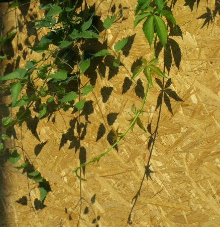 Ivy on wooden walll