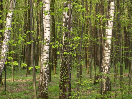 Birch trees in forest photo