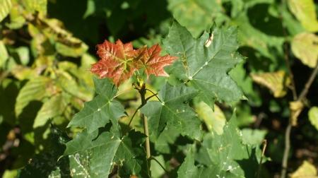 Oak tree details