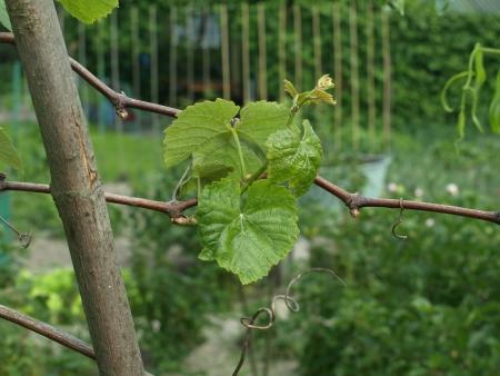 Grape-vine plant detail