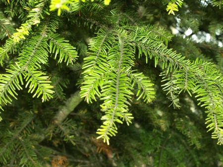 Details of pine tree