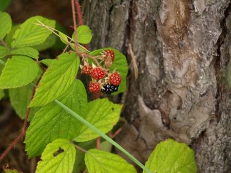 Wild raspberry in forest