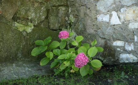 stoned: Pink flowers near stoned wall