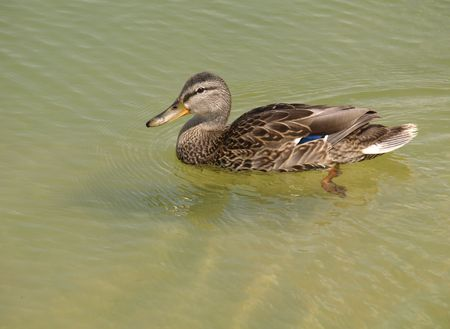 Duck in lake Stock Photo