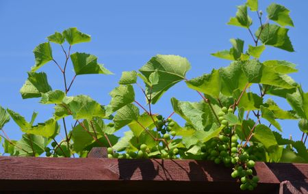 grapevine: Grape-vine