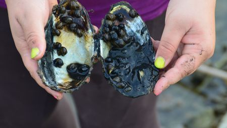 A lot of small snails in a big shell in girls hands Stock Photo