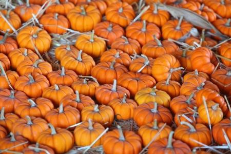 Mini Pumpkins Imagens