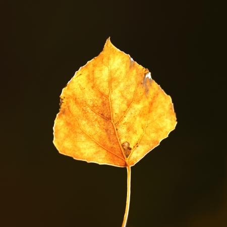 aspen leaf: Aspen Leaf Stock Photo
