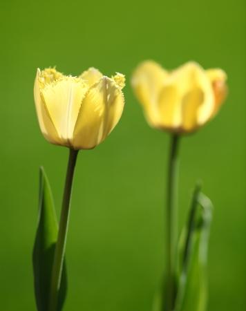 frilled: Tulips Stock Photo
