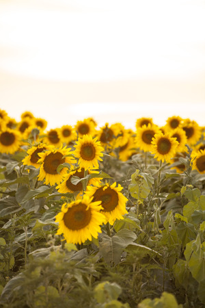 space for copy: Sunflower field vertical view with space for copy. Stock Photo