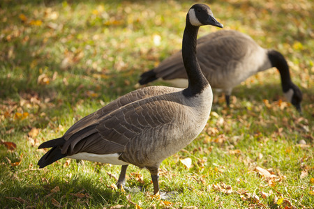 close in: Canadian geese up close in autumn.