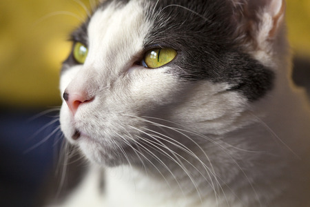 White cat with yellow eyes up close view. Stock fotó
