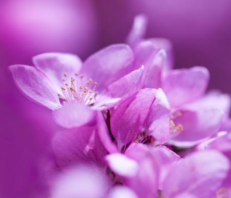 crab apple tree: Spring pink flower background macro.