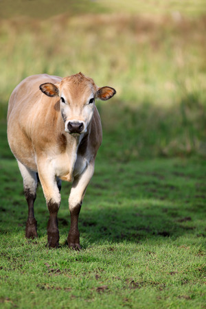 Brown Jersey Cow standing in a green grassy field.