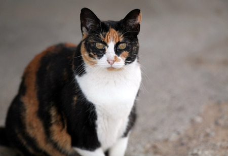 Calico cat looking at camera.
