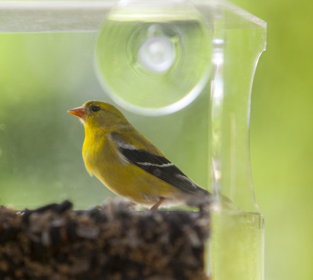 American gold finch in a birdfeeder.