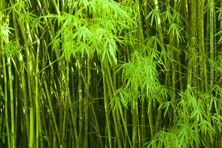 Bamboo green stalks growing.