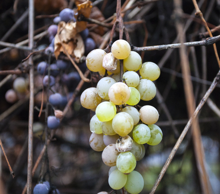 Organic grapes on the vine.