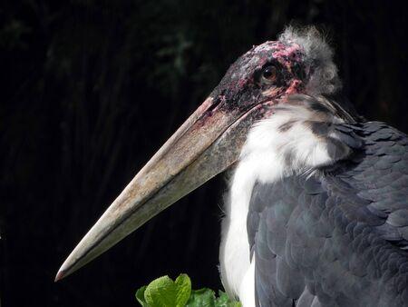 Marabou stork isolated side profile