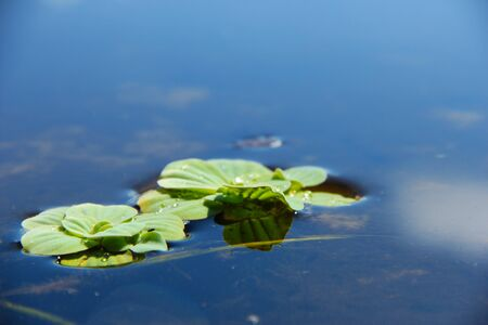 Lilly pad floating in spring water Stock Photo - 145007549
