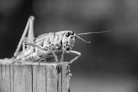 Lubber grasshopper resting on a wood post